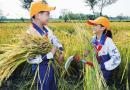 割稻体验丰收喜悦 百余名小学生太湖边农作忙