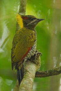 黄冠绿啄木鸟