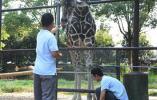 """【视频】给长颈鹿""""美甲""""还拍X光,难度究竟有多大?"""