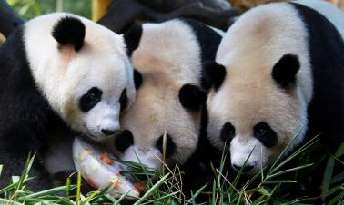 National panda park to open by end of this year