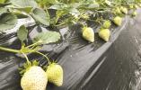 奉化果农引种日本白草莓成功 身价是普通红颊草莓的三倍