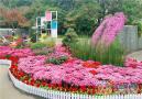 第十届常州市菊花展31日在青枫公园开幕