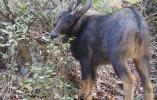 藏酋猴拔草、黄腹角雉啄食……大波国宝级野生动物浙江森林玩自拍