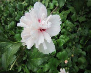 重瓣白木槿