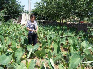 莱阳芋头种植