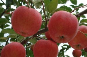 祁县红星苹果
