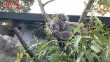澳大利亚大火持续肆虐,南京的考拉一家还有桉树叶吃吗?