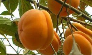 满城磨盘柿