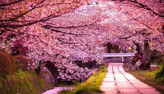 武汉樱花节