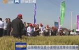 山东绿色优质小麦现场观摩会在滕州召开